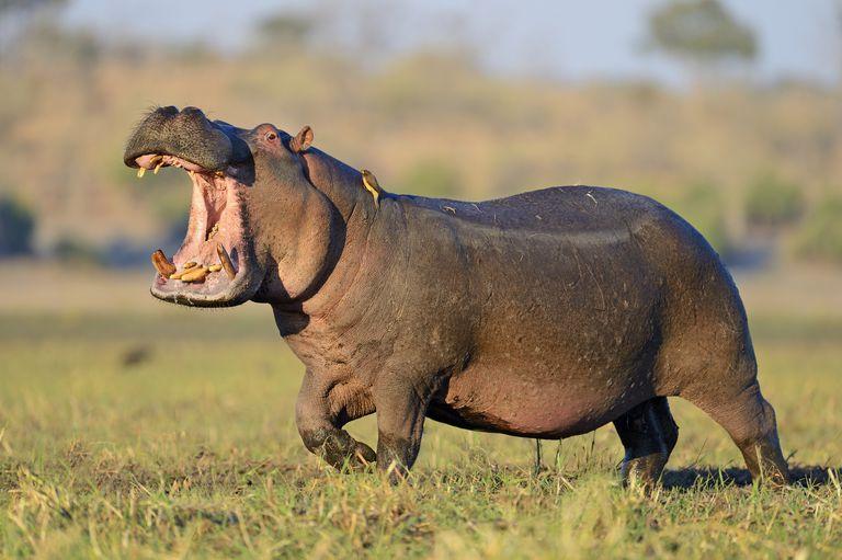 Hipopótamos. Los animales mas peligrosos de la transformación digital | Techcetera
